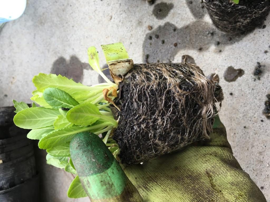 腐葉土で育てたベビーリーフの根