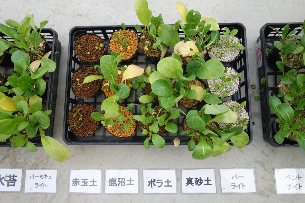 小松菜栽培比較結果2