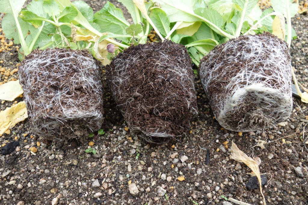 廃菌床の根