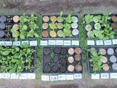 小松菜28種類の土で栽培比較