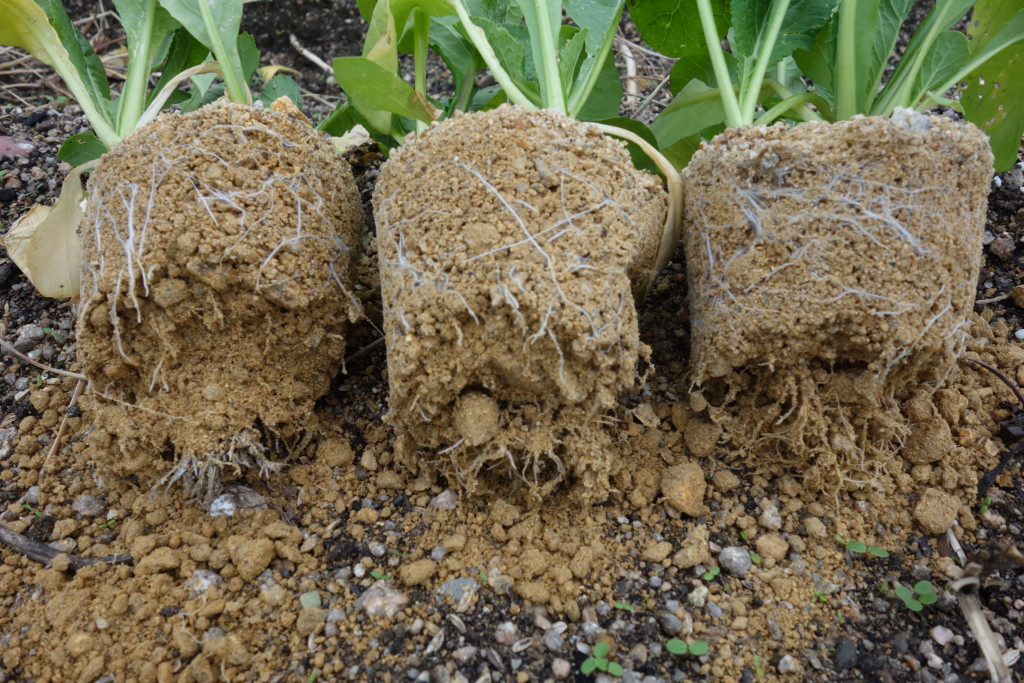 真砂土の根