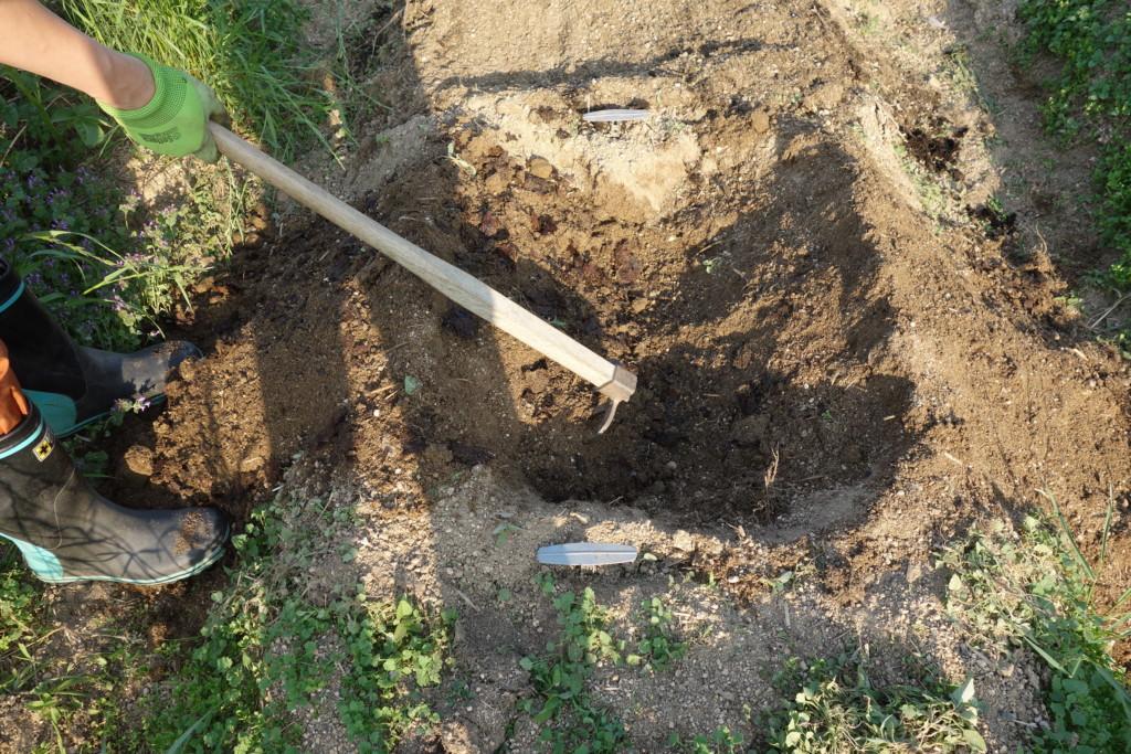 20㎝程元肥を入れるため掘っている