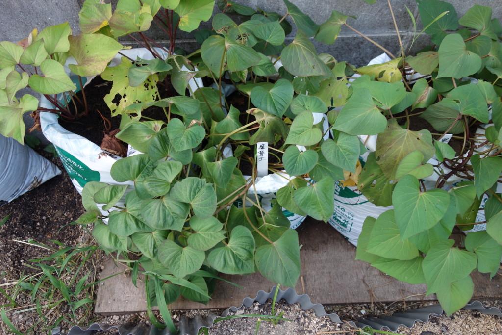 栽培二ヶ月後の腐葉土の葉
