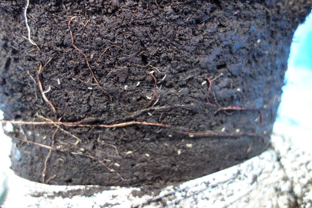バーク堆肥の白アリ
