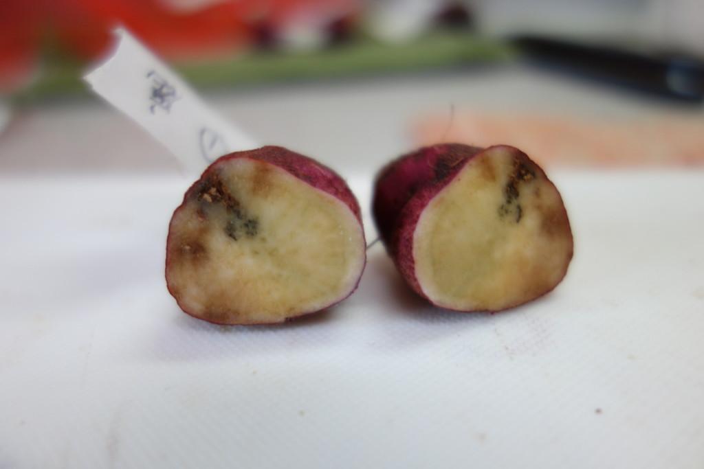鹿沼土サツマイモの腐敗断面図①