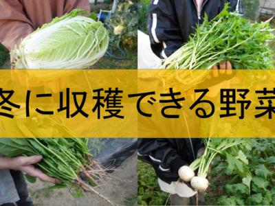 冬に収穫できる野菜