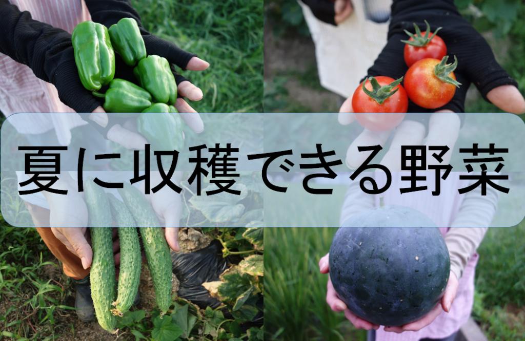 夏に収穫できる野菜
