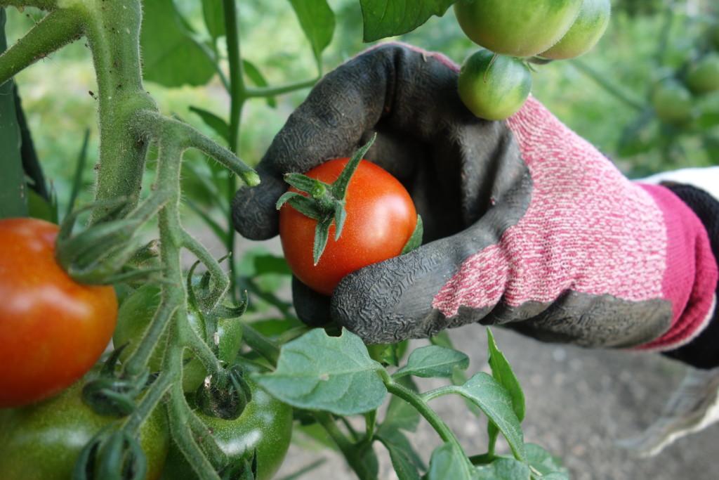 家庭菜園のトマト収穫